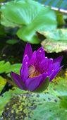 Purple Waterlily Or Lotus Flower.