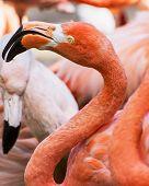 Beautiful American Flamingo (phoenicopterus Ruber)