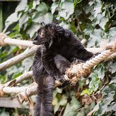 Black Lemur On The Rope