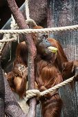 Female Orangutan With A Baby