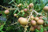 Longan Orchards