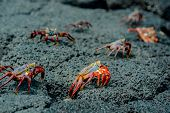 image of crustations  - red crabs in rocks galpagos islands ecuador selective focus - JPG