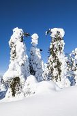 foto of laplander  - Trees covered with snow in Finnish Lapland - JPG