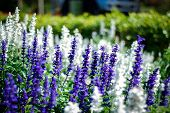 picture of blue-salvia  - Blue Salvia flower  - JPG