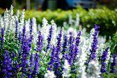 pic of blue-salvia  - Blue Salvia flower  - JPG