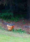 Free Ranch Chicken
