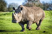 stock photo of vertebrate  - The white rhinoceros or square - JPG
