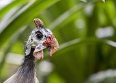 picture of guinea fowl  - Helmeted Guinea Fowl spotted in Kuala Lumpur Malaysia - JPG