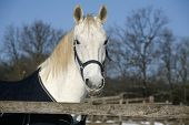 White Horse's  Portrait In Winter Corral Sunny Day
