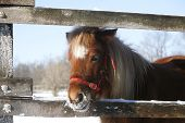 Pony Looking Out Of The Winter  Corral