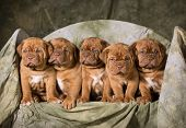 stock photo of bordeaux  - litter of dogue de bordeaux puppies  - JPG