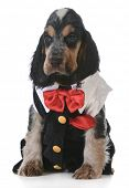 cute puppy - english cocker spaniel puppy  wearing tuxedo on white background