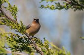 foto of juniper-tree  - Cedar Waxwing feeding on berries in a Juniper Tree - JPG