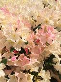 Sun Drenched Rhododendrons