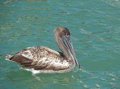 Pelican Float