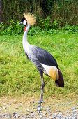 picture of long-legged-birds  - Beautiful crowned crane bird standing on the field. ** Note: Visible grain at 100%, best at smaller sizes - JPG