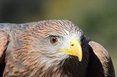 Head of the yellow-billed kite