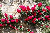 stock photo of climbing roses  - Red roses against a stone wall Ronda Andalusia Western Europe - JPG