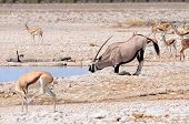 Oryx Kneeling To Drink In Etosha National Park, Namibia