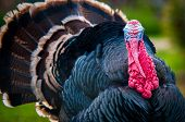 picture of turkey-cock  - A wild turkey on the green grass - JPG