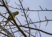 pic of parakeet  - Rose - JPG