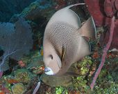 stock photo of angelfish  - Gray Angelfish on a Coral Reef  - JPG