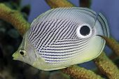 Closeup Of Foureye Butterflyfish