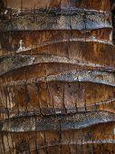 Detail of a Coconut palm (Arecaceae - Cocos nucifera) trunk