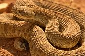 Rattlesnake Rising Out Of Coil
