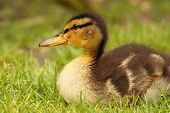 stock photo of baby duck  - A baby Grey Duck resting among grass - JPG