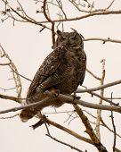 Great Horned Owl Fierce Look