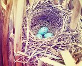 a red winged blackbird nest in some reeds with three eggs in it toned with a retro vintage instagram filter effect