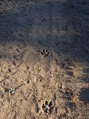 picture of dog footprint  - Four dog footprints in the sand of a forest road - JPG
