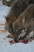 pic of lupus  - Close up of an european grey wolf (canis lupus lupus) in winter.