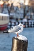 picture of bollard  - Seagull on a snowy bollard at a small town harbor - JPG