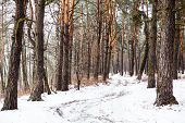 Dirt Road In The Winter Coniferous Forest
