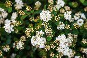 Blooming Spiraea Shrub