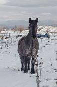 Pet Draught Horse