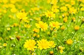 foto of buttercup  - Buttercup Meadow in flower Garden with vintage color tone - JPG