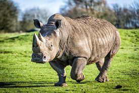 foto of species  - The white rhinoceros or square - JPG