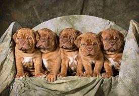 foto of bordeaux  - litter of dogue de bordeaux puppies  - JPG