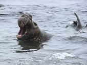 Elephant Seal Male Juvenile In Water Bellowing, Piedras Blancas,