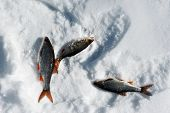 image of ice fishing  - Winter ice fishing with perch on snow - JPG
