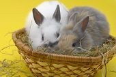 stock photo of midget  - two small rabbits isolated on yellow background - JPG