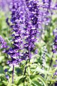 stock photo of salvia  - blurry defocused image of purple flower  - JPG