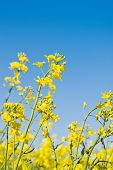 pic of cultivation  - Oilseed Rapeseed Flowers in Cultivated Agricultural Field Crop Protection Agrotech Concept Close up with Selective focus and Narrow Depth of Field - JPG