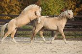 stock photo of stallion  - Two amazing palomino stallions playing together in autumn welsh mountain pony and welsh pony of cob type - JPG