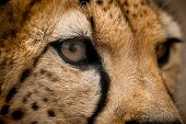 stock photo of nostril  - Close up of a Cheetah wild cat