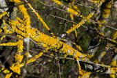 image of lichenes  - The composition of the branches of the tree with yellow lichen - JPG
