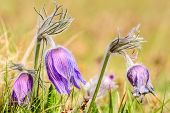 stock photo of common  - Pasque flower  - JPG